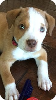 Catahoula Leopard Dog Mix Puppy for adoption in El Segundo, California - Lilly