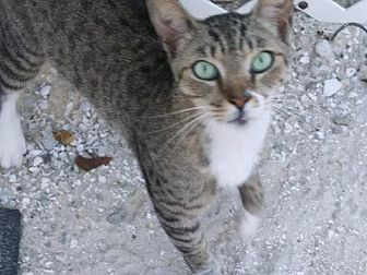 Adopt A Pet :: Abyssinian Beauty!!  - Ft Myers Beach, FL