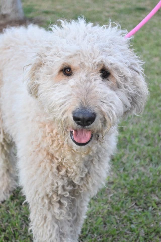 Dfw Tx Goldendoodle Meet Annie A Pet For Adoption