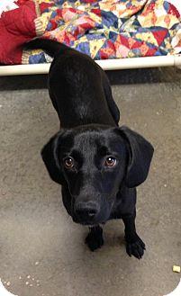 Labrador Retriever Mix Dog for adoption in Greensburg, Pennsylvania - Liberty