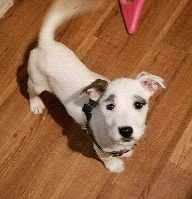Weatherford Tx Jack Russell Terrier Meet Scout A Pet For Adoption