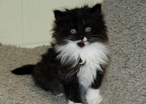 Salem Wv Persian Meet Longhair Kittens A Pet For Adoption