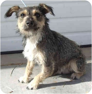 Schnauzer (Miniature)/Rat Terrier Mix Puppy for adoption in Provo, Utah - PIPER