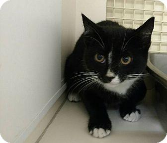 Domestic Shorthair Kitten for adoption in Tampa, Florida - Kit Kat