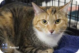 Domestic Shorthair Cat for adoption in Merrifield, Virginia - Peanut