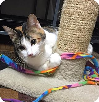 Domestic Shorthair Cat for adoption in Wichita, Kansas - Beauty