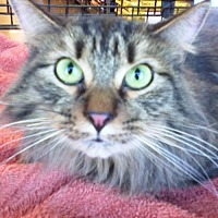 Adopt A Pet :: Cuddles - Fort Worth, TX