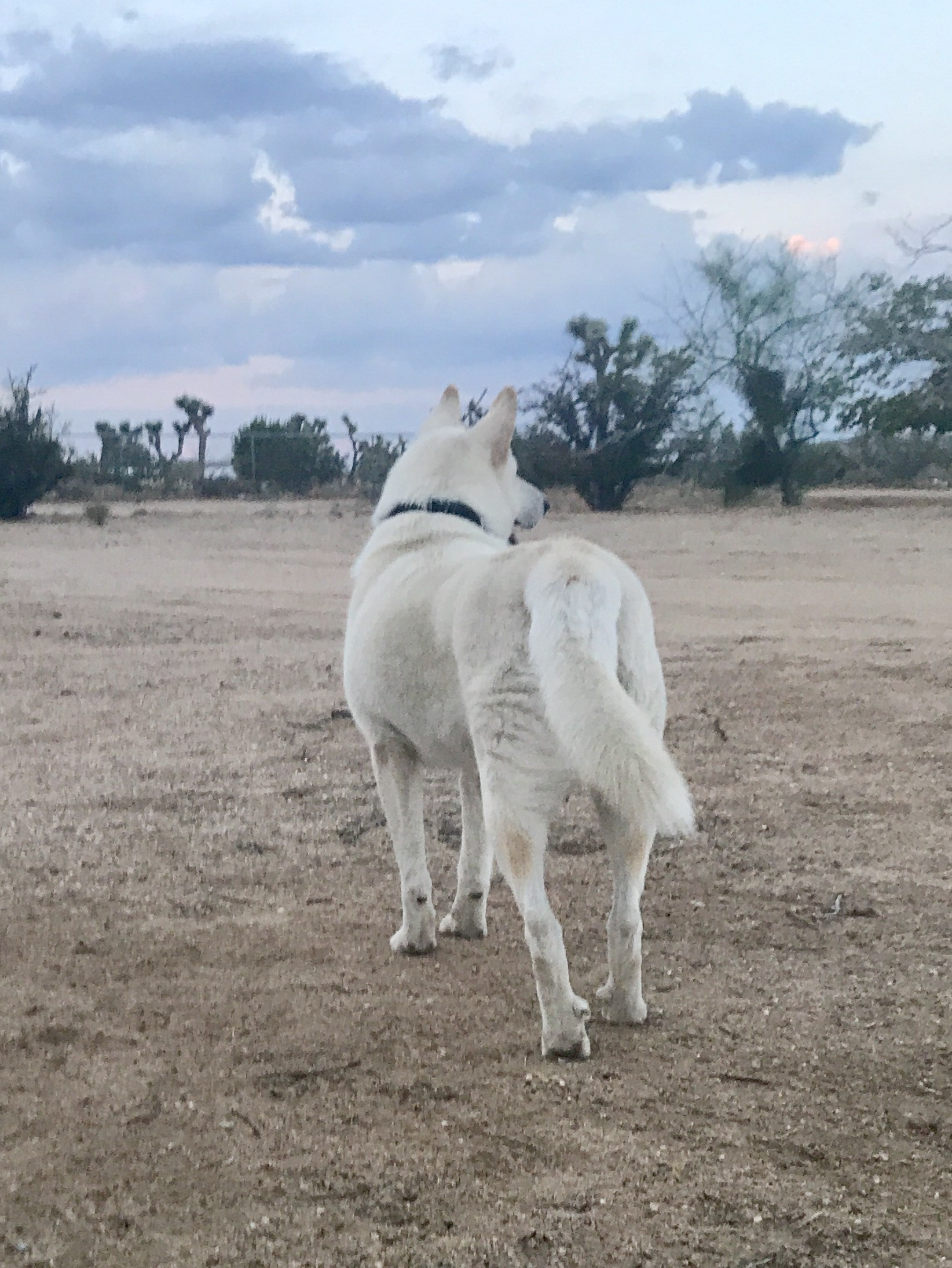 Husky puppies for sale yucca valley - Yucca Valley Ca Siberian Husky Meet Sampson Sammy A Dog For Adoption