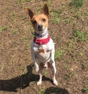 Adopt a Pet :: Meegosh 'Pickles' - Mission, KS -  Chihuahua Mix