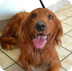 Roanoke Va Golden Retriever Meet Kipper A Pet For Adoption