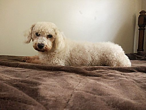 Mentor Oh Bichon Frise Meet Olivia 6yr Adopted A Pet For Adoption