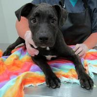 Mastiff Puppies for Sale in Buffalo Grove Illinois