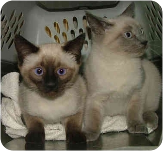 Dallas Tx Siamese Meet Blueboy A Pet For Adoption