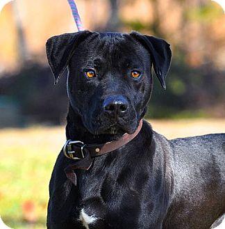 Baltimore Md Labrador Retriever Meet Buddha A Pet For Adoption