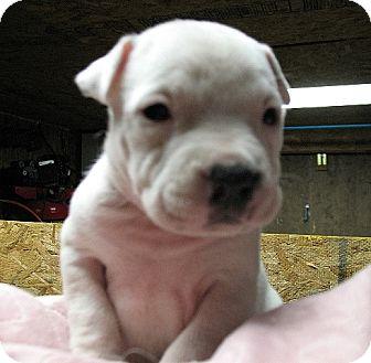 White Settlement Tx American Pit Bull Terrier Meet Bajas Sierra