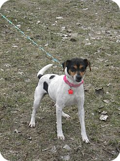 Rat Terrier Mix Dog for adoption in River Falls, Wisconsin - Q-Tip