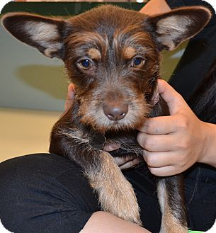 Corgi/Terrier (Unknown Type, Small) Mix Puppy for adoption in Simi Valley, California - Cherry