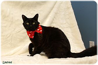 Domestic Shorthair Cat for adoption in Welland, Ontario - Linfred