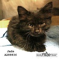 Domestic Mediumhair Kitten for adoption in Conroe, Texas - JADE