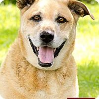 Adopt A Pet :: Duke - Marina del Rey, CA