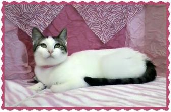 Domestic Shorthair/Domestic Shorthair Mix Cat for adoption in Erie, Pennsylvania - Amira