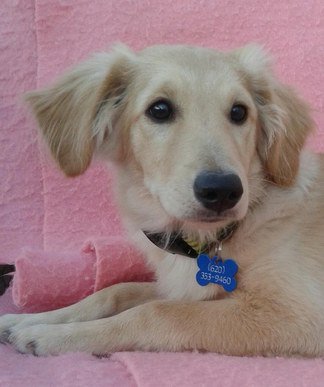Golden Retriever Puppies For Sale Manhattan Ks - gaurani