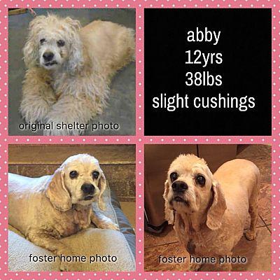 Mentor Oh Cocker Spaniel Meet Abby 12yr A Pet For Adoption