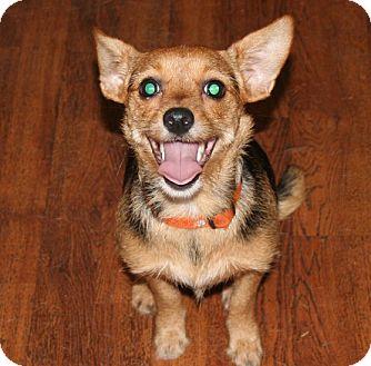 Richburg Sc Yorkie Yorkshire Terrier Meet Marryann A Pet For