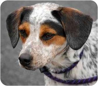 Beagle Mix Dog for adoption in Inman, South Carolina - Smitty