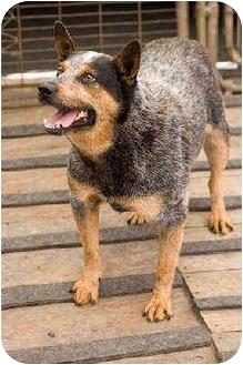 Blue Heeler Dog for adoption in Portland, Oregon - Peyton