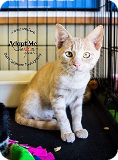 Domestic Shorthair Kitten for adoption in Charlotte, North Carolina - A..  Abby