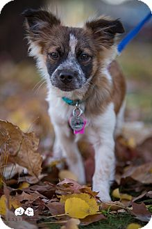 Chihuahua/Papillon Mix Puppy for adoption in Astoria, New York - Pistachio