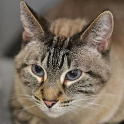 Abyssinian Cat Rescue Colorado