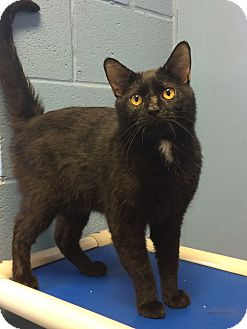Domestic Shorthair Cat for adoption in Germantown, Tennessee - Jamie