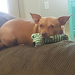 Chihuahua Puppies for Sale in Idaho - Adoptapet com