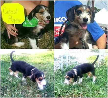 Findlay Oh Dachshund Meet Adoption Pending Eleanor A Pet For