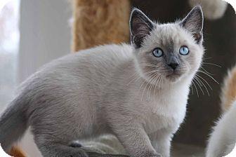Safari In Va >> Gainesville, VA - Siamese. Meet Siamese kittens a Pet for Adoption.