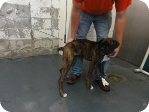 Boxer Dog for adoption in Springfield, Missouri - Haddie