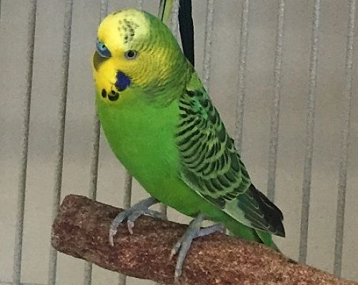 Fairfax, VA - Budgie  Meet Jade a Pet for Adoption
