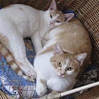 American shorthair kittens mn