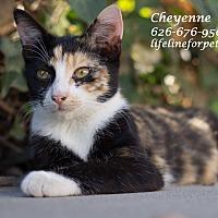 Adopt A Pet :: A Beauty: CHEYENNE - Monrovia, CA