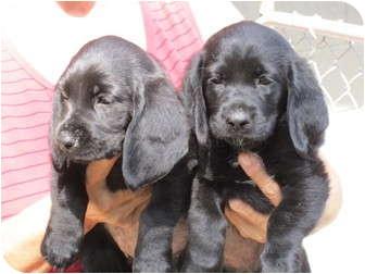 Fairfield Tx Basset Hound Meet 3 Bassettdachsund Mix Pups A Pet