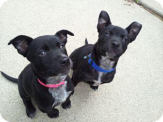 Laingsburg, MI - Blue Heeler. Meet Zoey a Dog for Adoption.