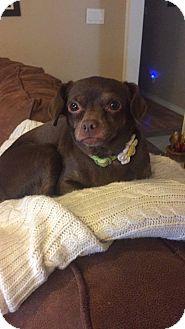 Pug/Chihuahua Mix Dog for adoption in Wichita Falls, Texas - Brownie