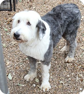 Allentown, PA - Old English Sheepdog  Meet Sterling a Pet