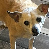Adopt A Pet :: Bailey - Brooksville, FL