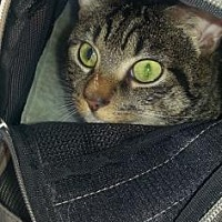 Domestic Shorthair Cat for adoption in New York, New York - Jerry