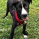 Adopt A Pet :: Luke the Lab