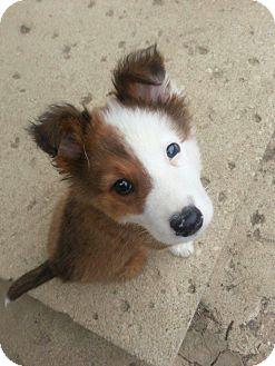 Columbus, OH - Border Collie  Meet Patch a Pet for Adoption