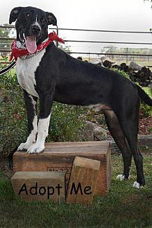 Adopt A Pet :: Adam  - Aurora, CO
